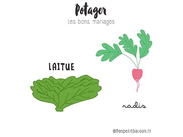 plantes compagnes au potager : laitue et radis