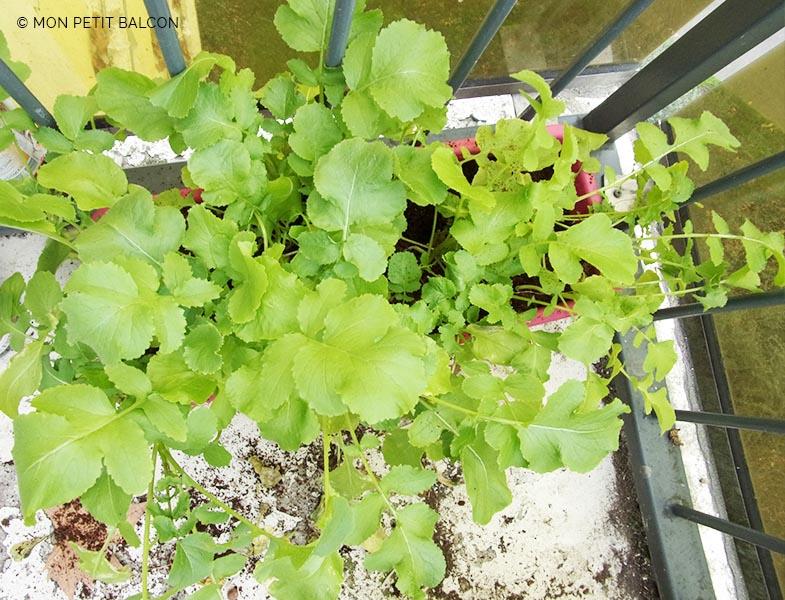 pourquoi mes radis ne grossissent pas et ne donnent que des feuilles