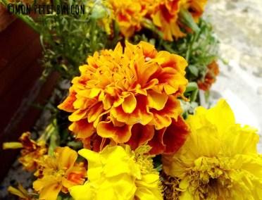 oeillet d'inde des fleurs comestibles pour potager sur balcon fleuri