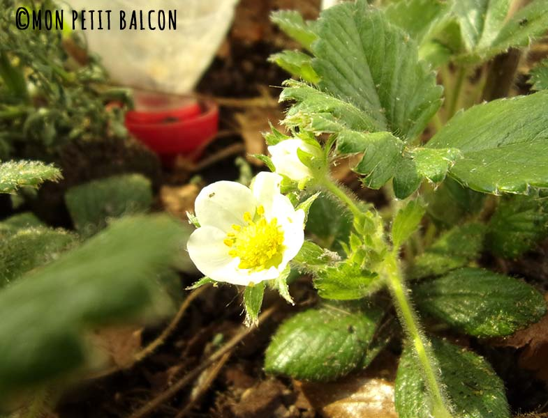 fraisiers cagette potager sur balcon fleuri4