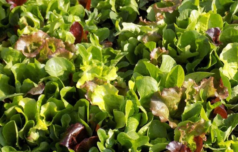 Semis d'automne au potager sur balcon : la laitue à couper bio