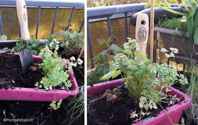 transplantoir dewit pour transplanter le persil sur mon petit potager de balcon