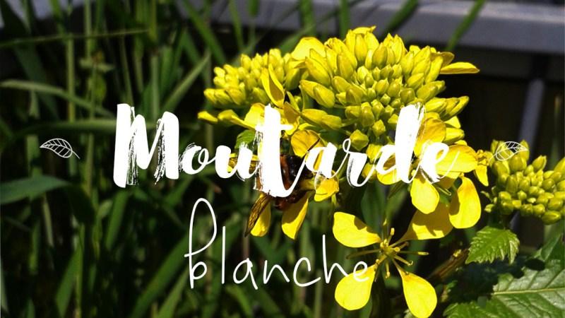 Moutarde au balcon : comment la cultiver en pot ?