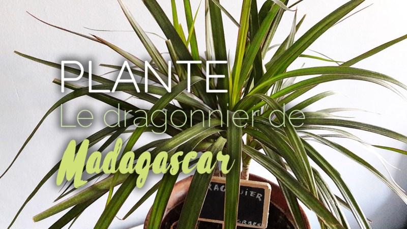 Dragonnier de Madagascar plante dépolluante d'appartement