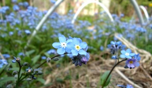 Fleurs sauvages et comestibles de myosotis dans un jardin potager à Nanterre   Mon petit balcon