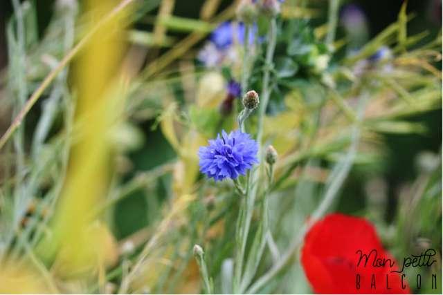 fleurs champêtre de bleuet et coquelicot au potager sur balcon | Mon petit balcon