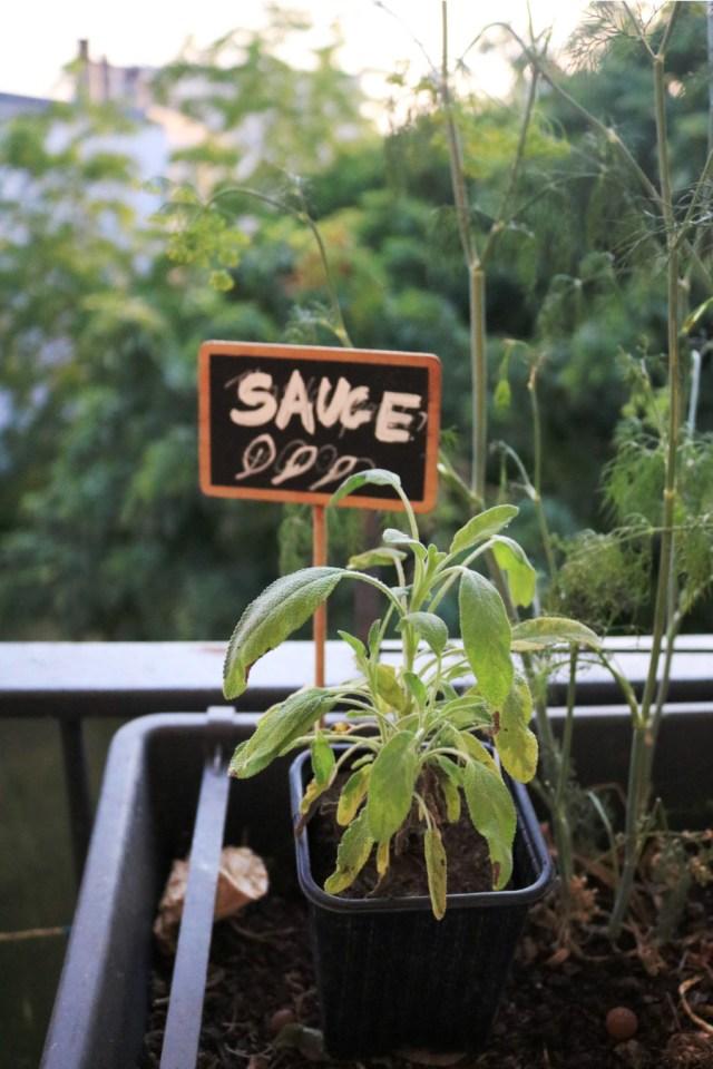 plant aromatique de sauge officinale panachée en pot cultivée sur un balcon ou une jardinière