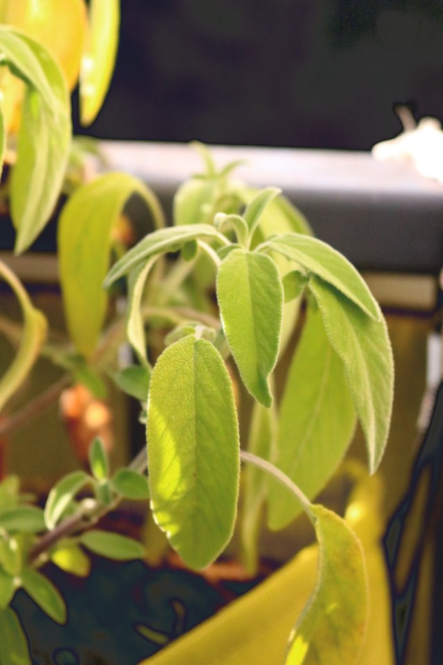 plant aromatique de sauge officinale en pot facile à cultiver sur un balcon, une jardinière ou dans un bacsac