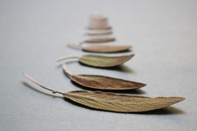 feuilles séchées de sauge officinale cultivée en pot sur un balcon