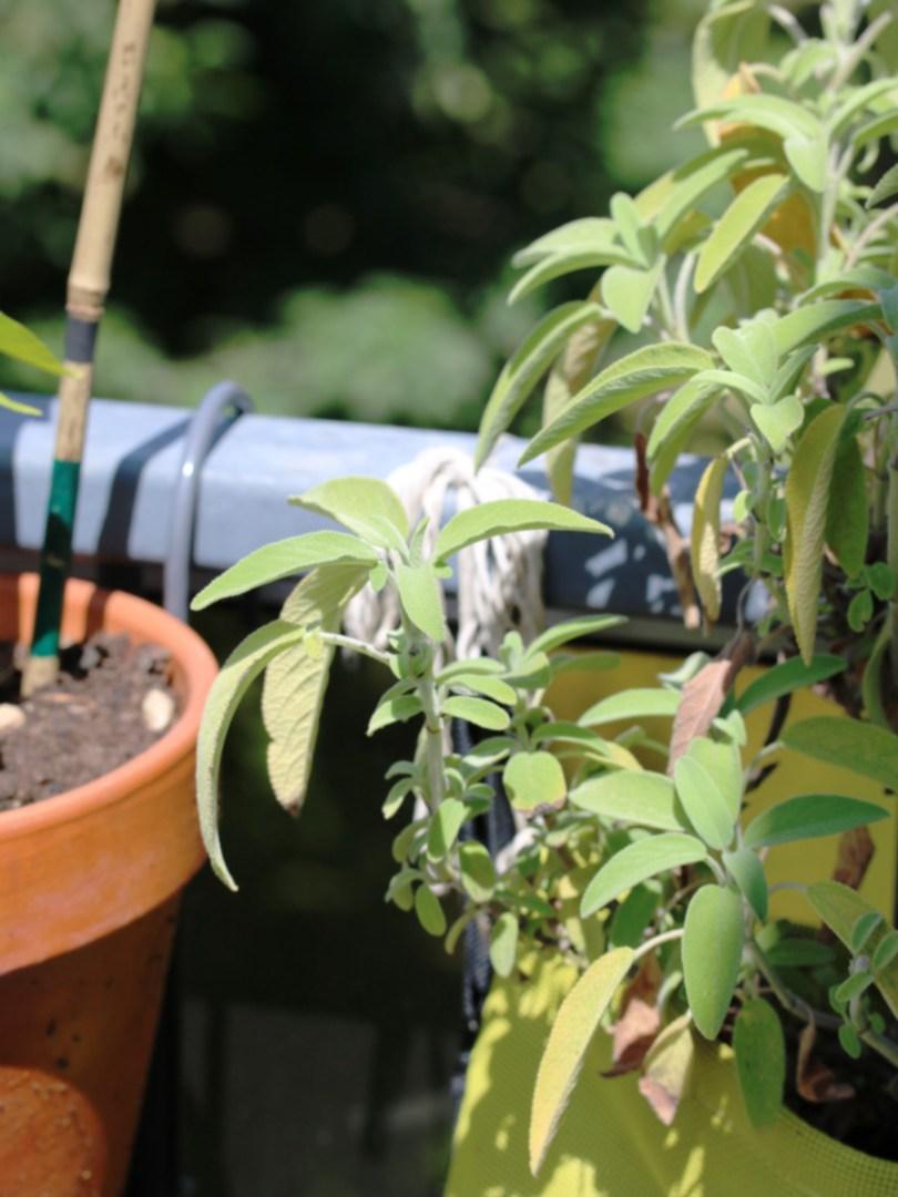 La sauge officinale pousse sur la balcon dans un sac de culture bac sac | Mon petit balcon