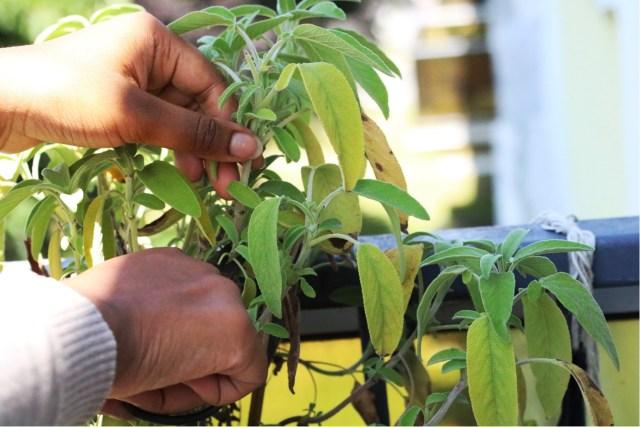 récolte de la sauge officinale sur le balcon avec un ciseau | Mon petit balcon