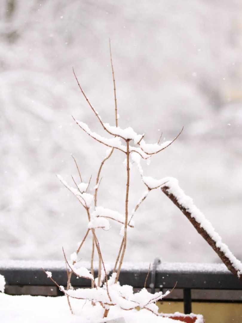 verveine recouverte de neige dans une jardinière qui pousse sur un balcon en ville / Mon petit balcon