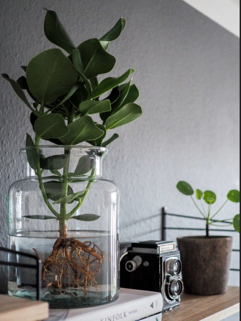 clusia plante aquatique