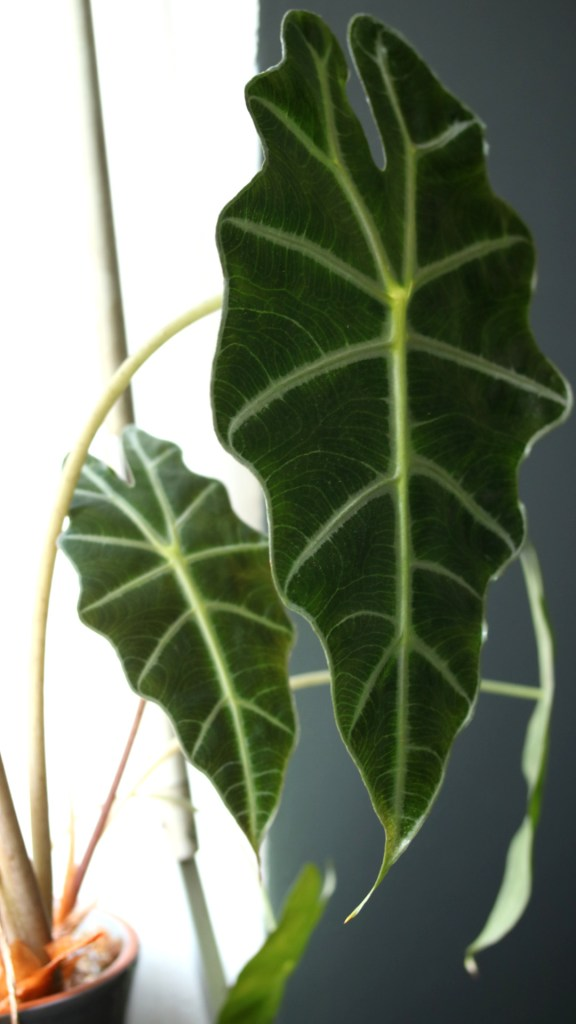 conseil jardinage débutant plante d'intérieur, urban jungle : Alocasia amazonica | Mon petit balcon