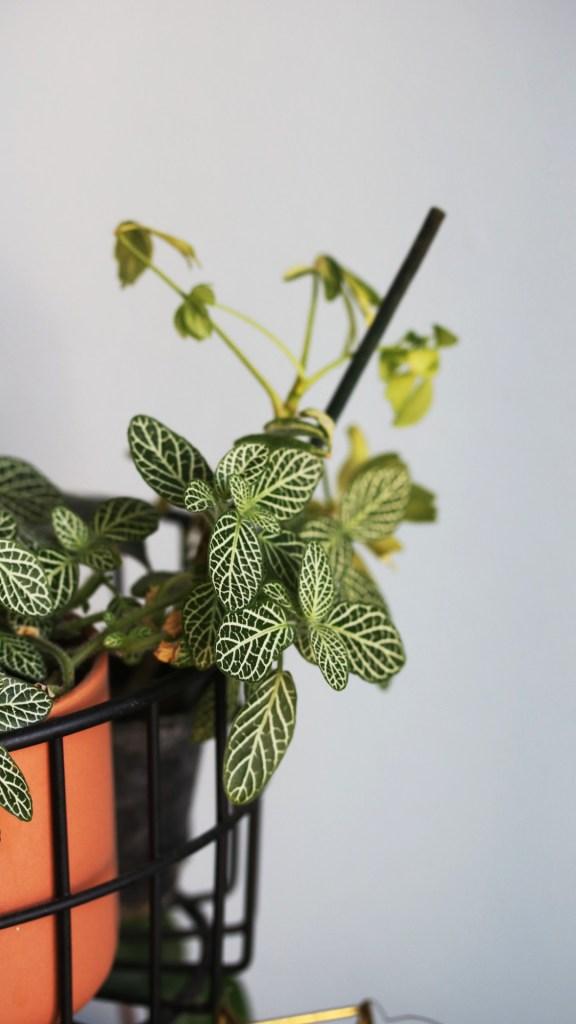 conseil jardinage débutant plante d'intérieur, urban jungle : fittonia vert et blanc | Mon petit balcon