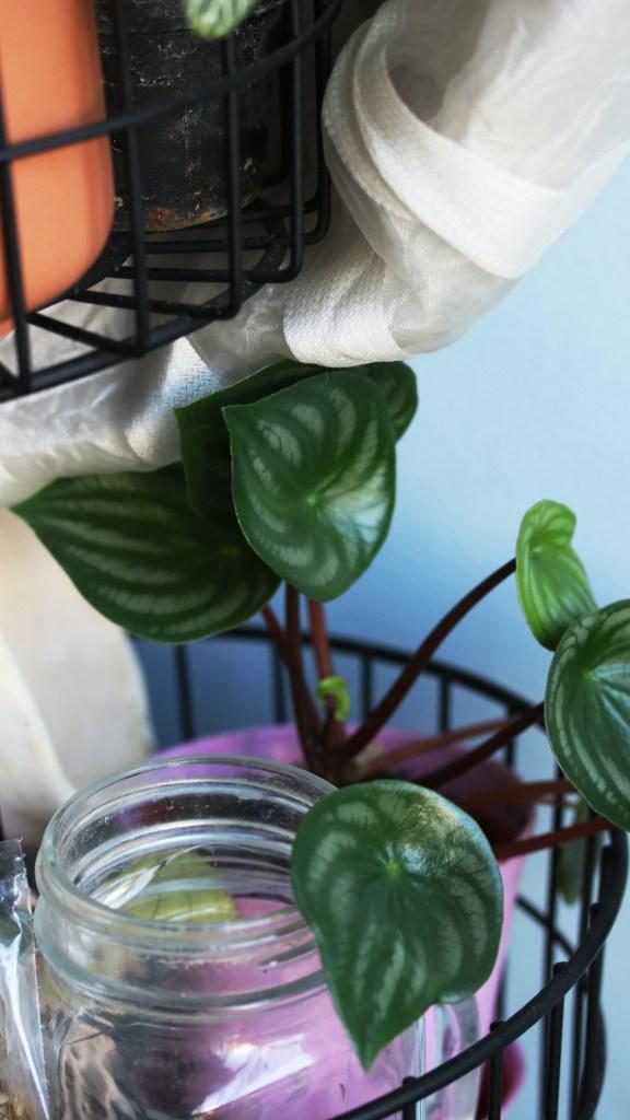 conseil jardinage débutant plante d'intérieur, urban jungle : peperomia watermelon | Mon petit balcon