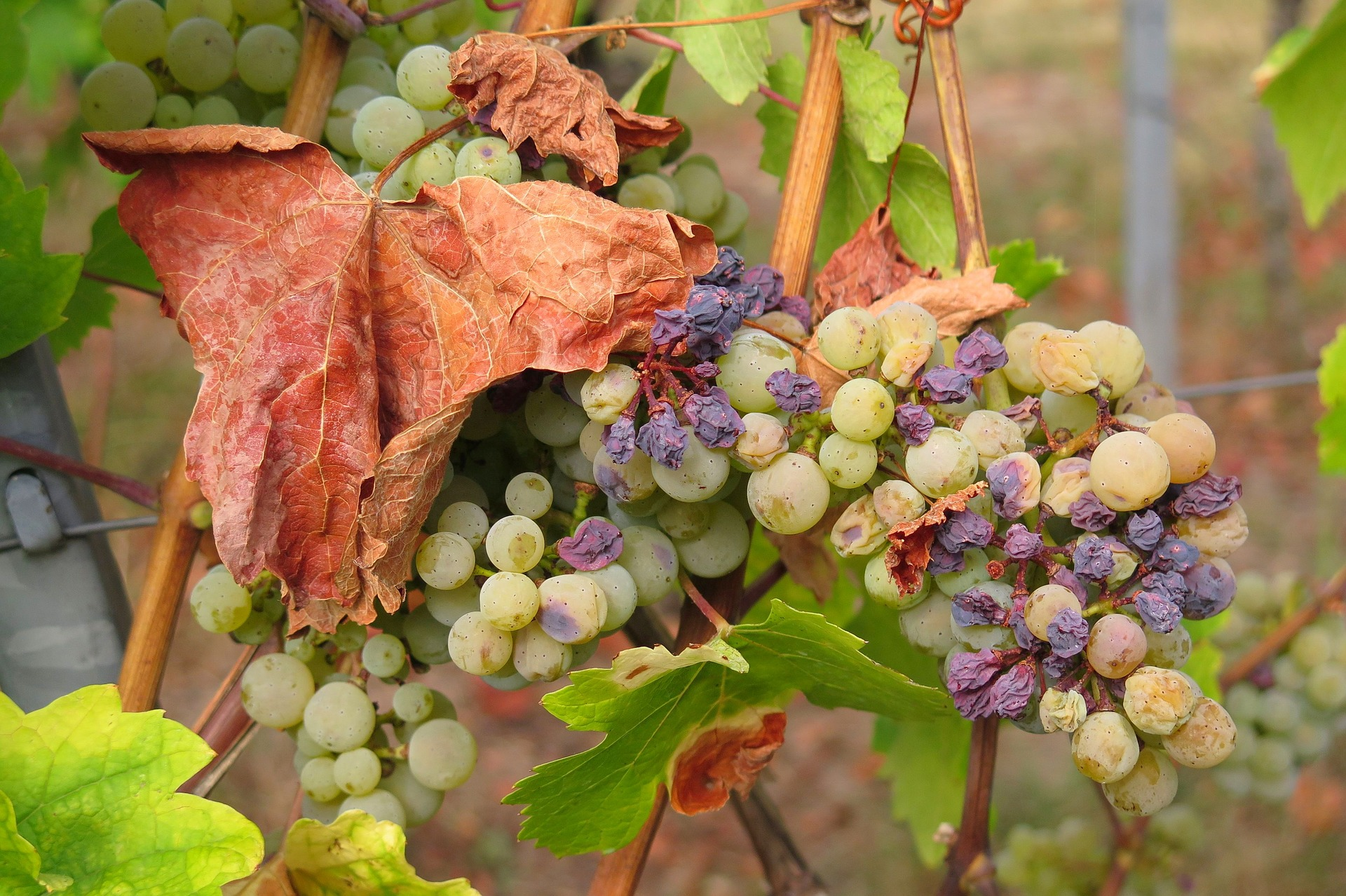 L'oïdium et le mildiou de la vigne