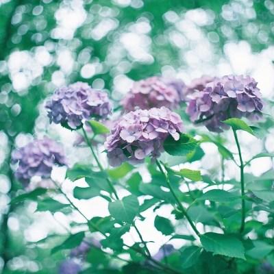 Magnifiques et poétiques hortensias