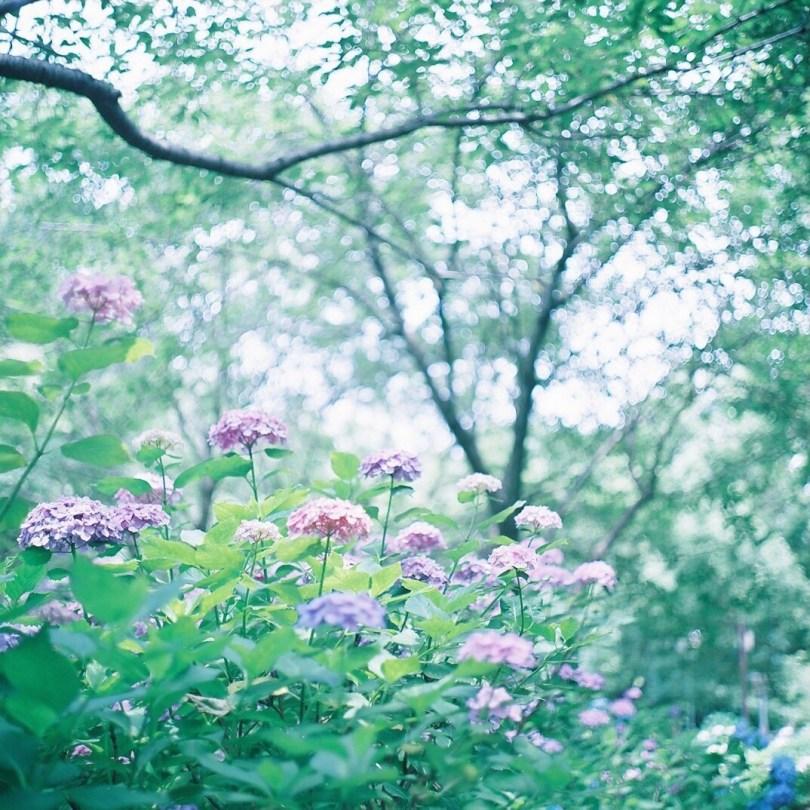 hortensias poetiques