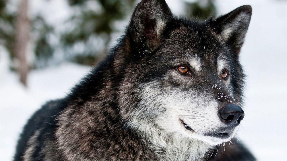 wolf-medieval