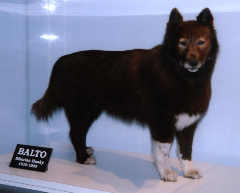Balto cane originale imbalsamanto