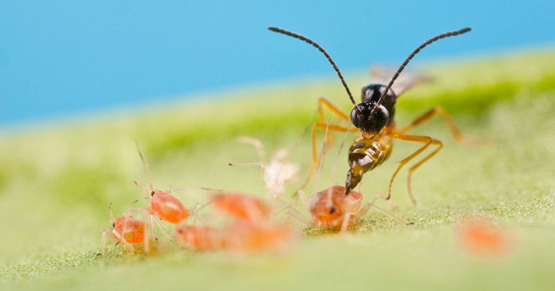 Icneumonidi insetti parassiti