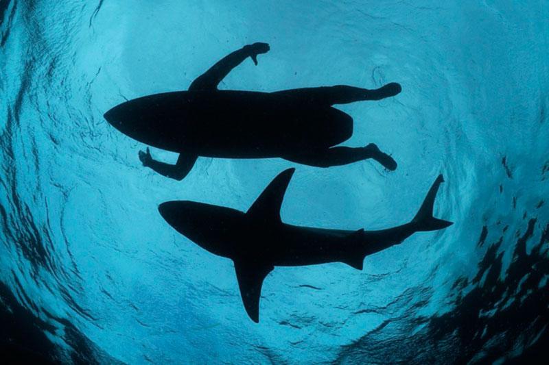 Foca squalo in acqua