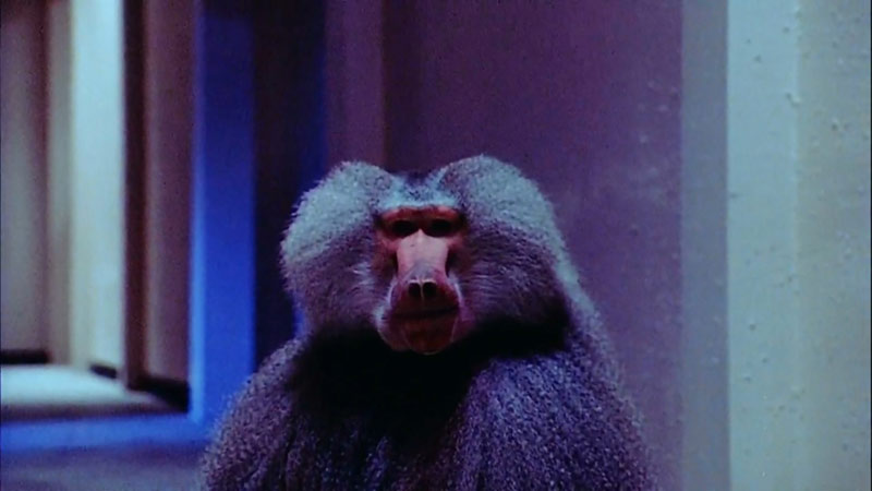 Shakma scimmia che uccide horror