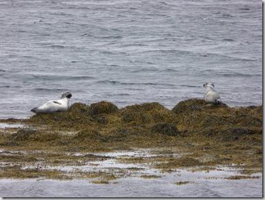 Phoque gris islandais