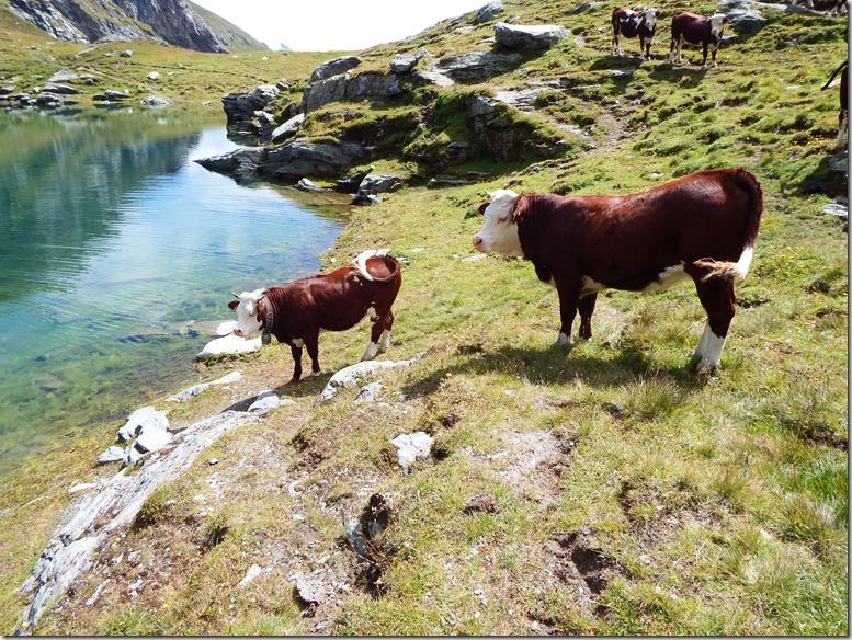 50 Vaches près du lac