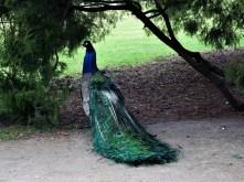 Peacock in Lazienki Park