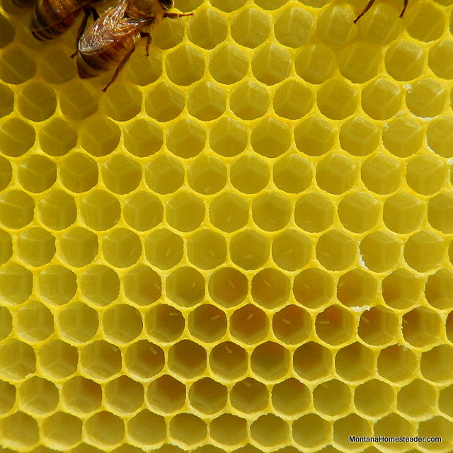 honey bee eggs in a bee hive