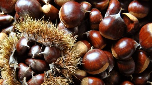 Chestnut season in Italy - the harvest
