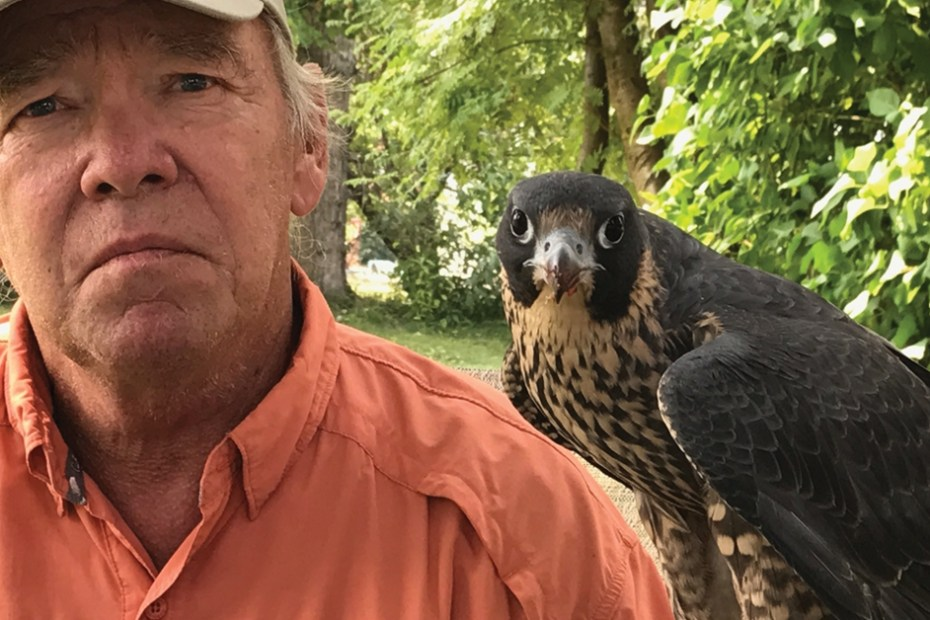 MSN 345 - When it comes to speed, no creature matches the peregrine falcon