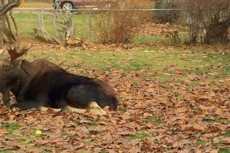 Living with Moose in Sandpoint, ID