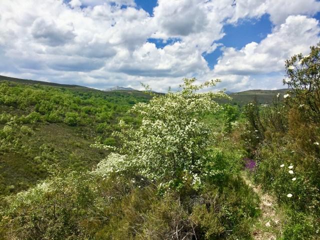 Majuelo en flor, Camino al Molino de Majaelrayo.