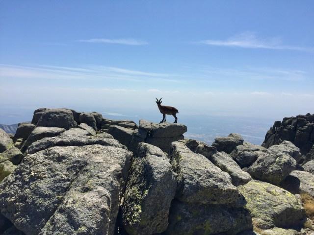 Rebeco en los riscos del Cerro de Navasomera.