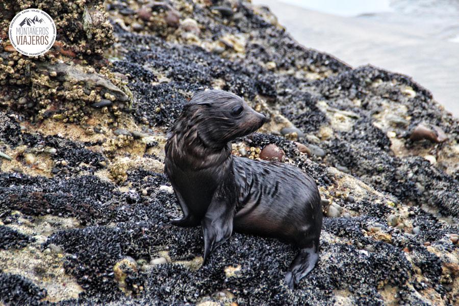 crias-de-lobo-marino
