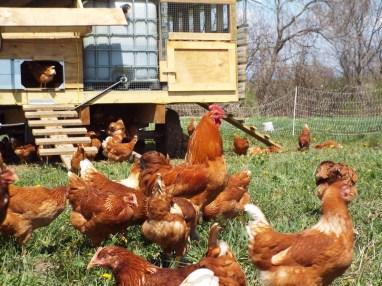 Pastured Hens at Wrong Direction Farms