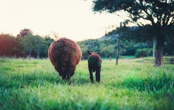maman-mouton