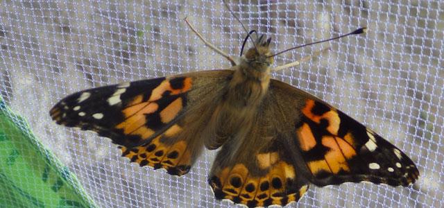 montessori papillons 2