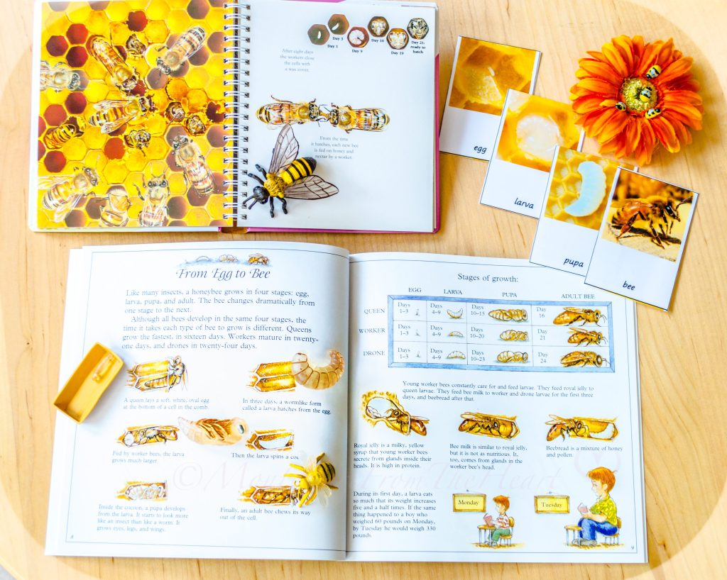Life-Cycle-of-the-Honey-Bee-Resources