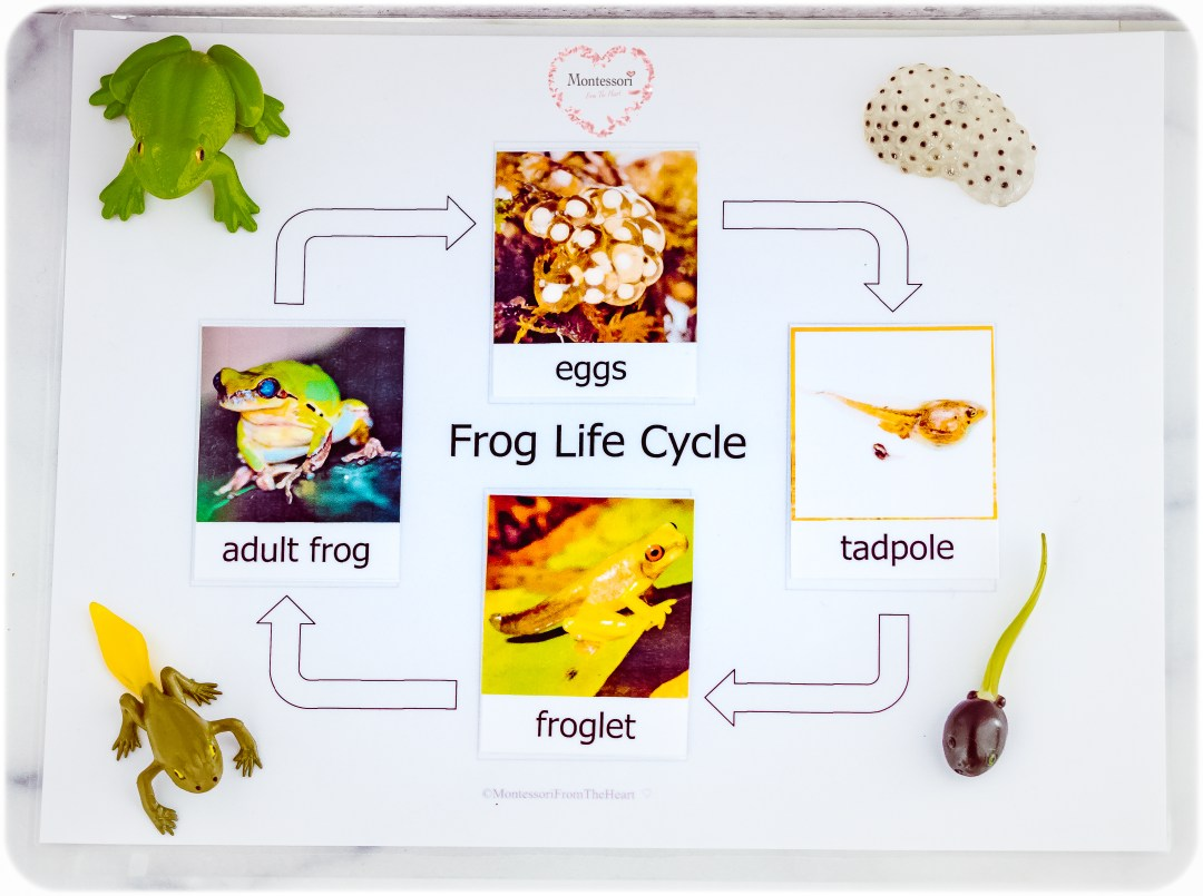 rog-Life-Cycle-Montessori-Nomenclature-Cards
