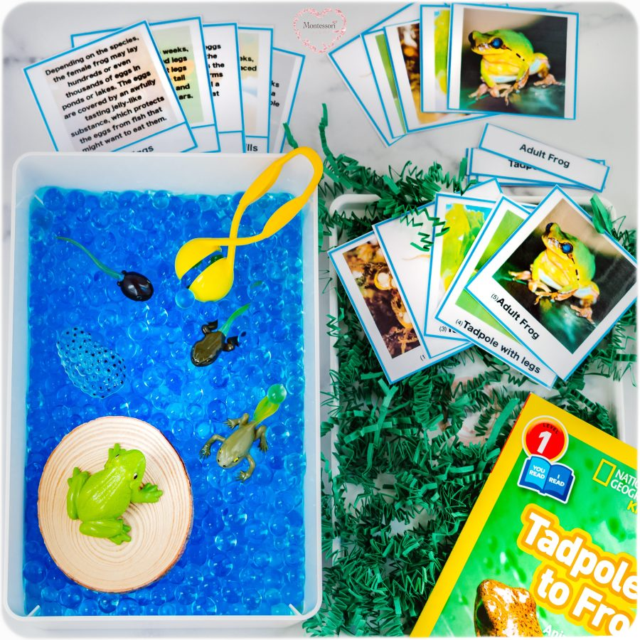 Frog LifeCycle Learning Kit