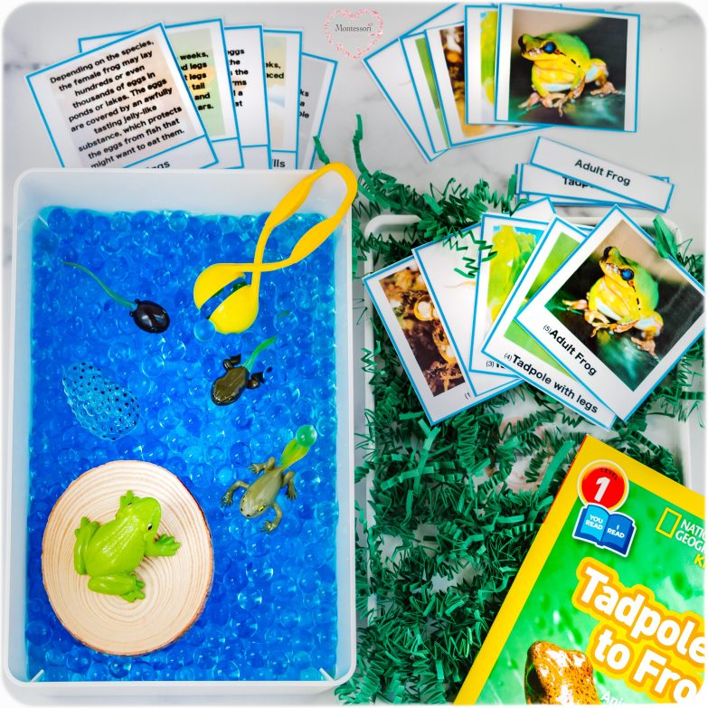 Frog Life-Cycle Learning Kit F