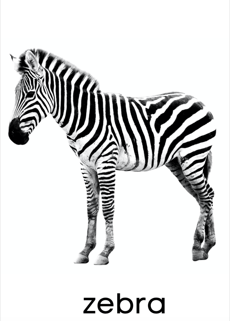 ZEBRA real-life photograph