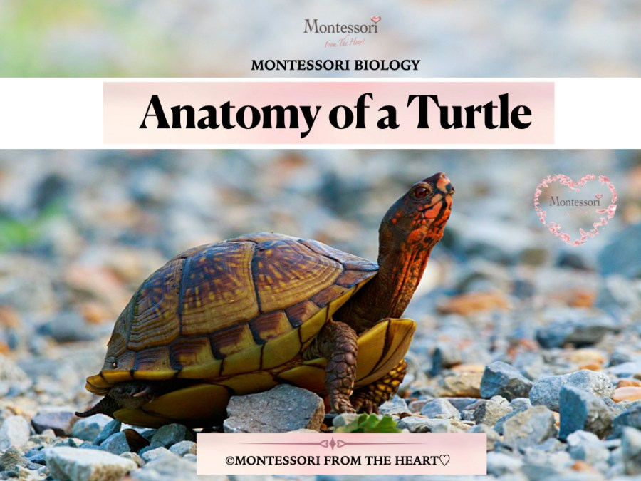 -COVER TURTLE ANATOMY- Montessori Biology