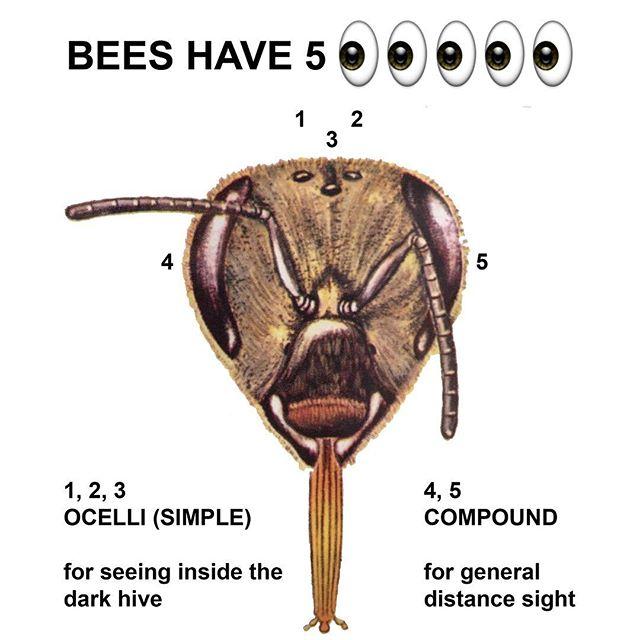 Bees_5_Eyes