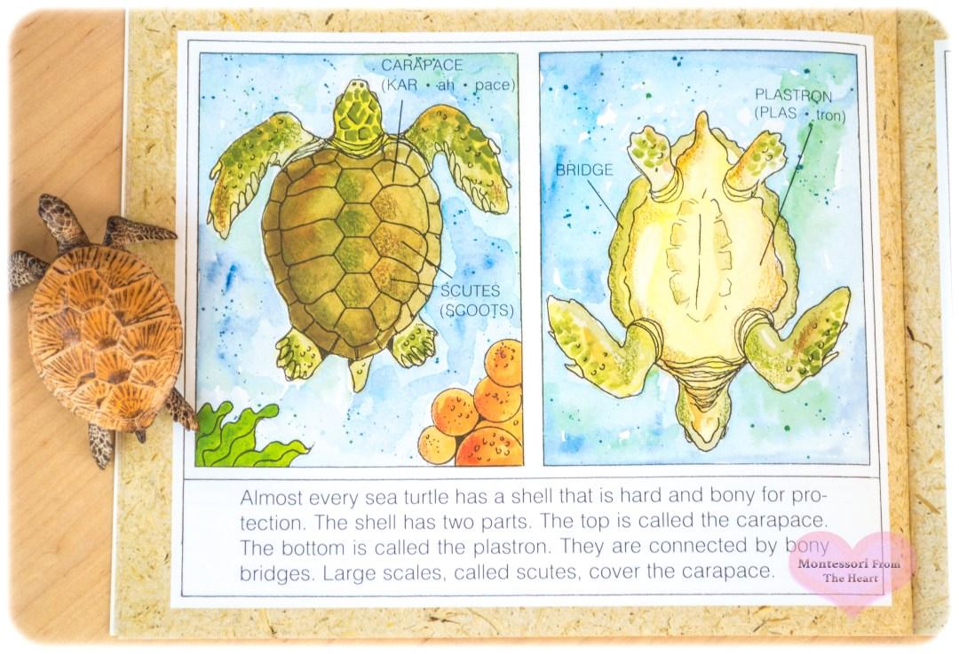 TURTLE HOMESCHOOL KIDS ACTIVITIES Parts of Sea Turtle