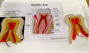 plastelína, playdoh, anatómia zubu